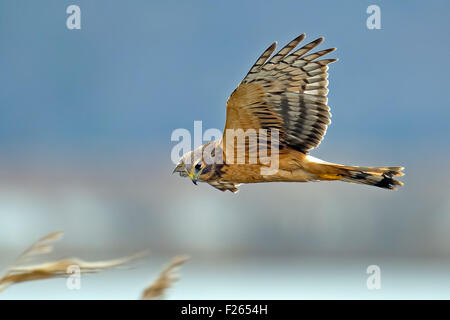 Northern Harrier in flight hunting for prey - Stock Photo
