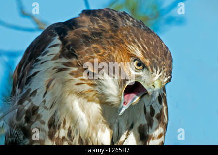 An Angry Red-tailed Hawk - Stock Photo