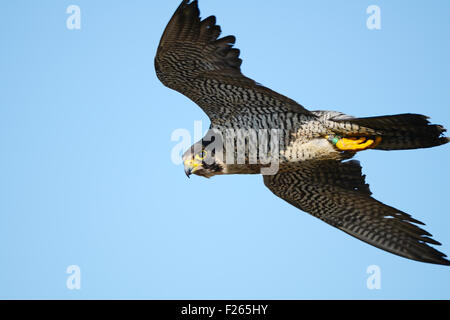 Peregrine Falcon in Flight - Stock Photo