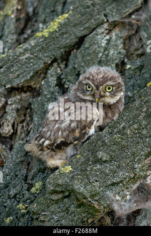 Fledgling of Minervas Owl / Little Owl / Steinkauz ( Athene noctua ) sits in bark of a tree with its yellow eyes - Stock Photo