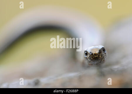Close-up, frontal headportrait of Slow Worm / Blindschleiche ( Anguis fragilis ). - Stock Photo