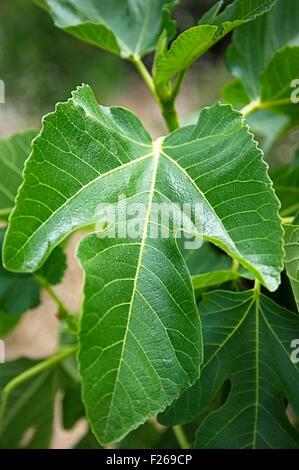 Fig leaf on tree - Stock Photo