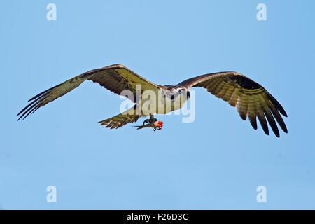 Osprey in Flight with Headless Fish - Stock Photo