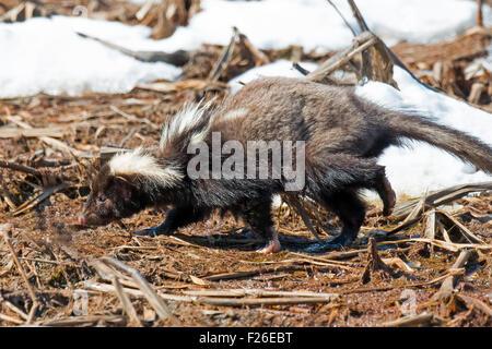 Skunk in the Snow - Stock Photo