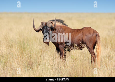 Male black wildebeest (Connochaetes gnou) in grassland, Mokala National Park, South Africa - Stock Photo