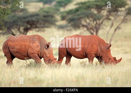 A pair of white rhinoceros (Ceratotherium simum) in natural habitat, South Africa - Stock Photo