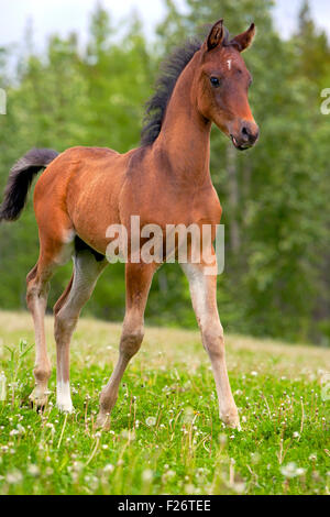 Curious Bay Arabian Colt walking at pasture. - Stock Photo