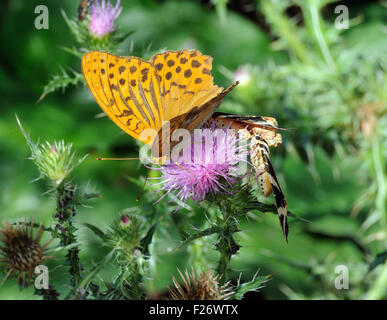 A battered male Silver-washed fritillary (Argynnis paphia) butterfly and Jersey tiger moths (Euplagia quadripunctaria) - Stock Photo