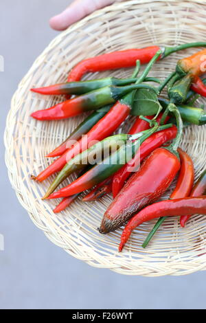 Home grown fresh long green and red chillis - Stock Photo