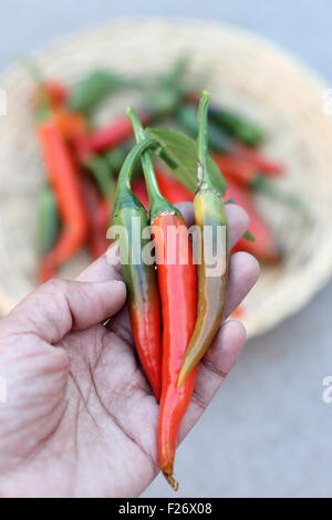 Holding home grown fresh long green and red chillies in hand - Stock Photo