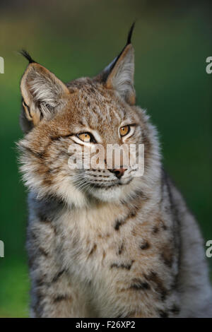 Head portrait of Eurasian Lynx / Eurasischer Luchs ( Lynx lynx ), wonderful warm light, late evening light, tipped - Stock Photo