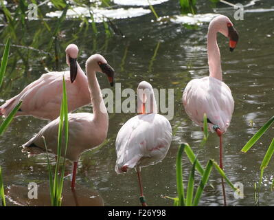 Group of four African  Lesser flamingos (Phoeniconaias minor)  standing in the water - Stock Photo