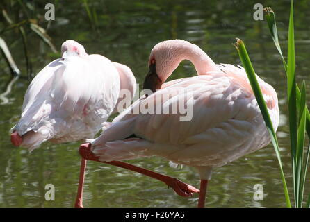 Pair of African  Lesser flamingos (Phoeniconaias minor) in a lake - Stock Photo