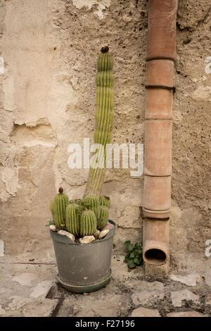 Cactus plant next to drainpipe, Matera, Puglia, Italy - Stock Photo