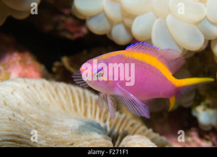 Purple Anthias (Pseudanthias tuka) - Stock Photo