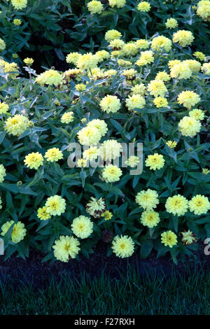 Lots of yellow zinnia flowers in a garden with grass - Stock Photo
