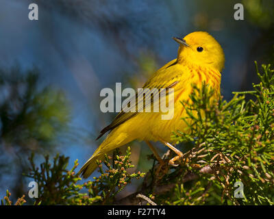 Yellow Warbler in a tree - Stock Photo