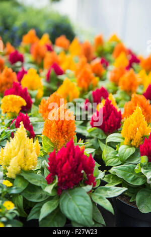 Cockscomb flowers for sale in flower shop, Augsburg, Bavaria, Germany - Stock Photo