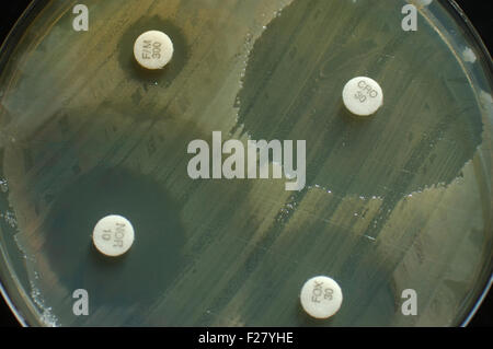 petri dish with antibiotic sensitivity discs showing inhibition zones for bacterial colonies - Stock Photo