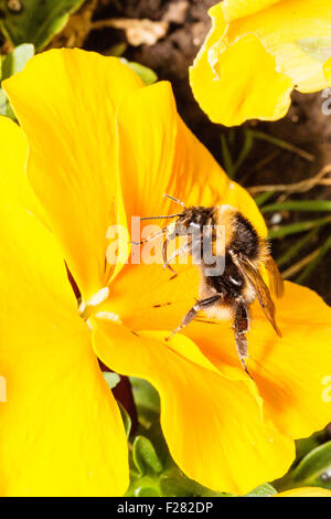 Insect, Bumble bee, 'Bombus Pascuorum', collecting pollen from yellow flower, legs and head pollen covered - Stock Photo