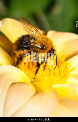 Bumble Bee gathers nectar from Yellow Flag Iris, Iris ...