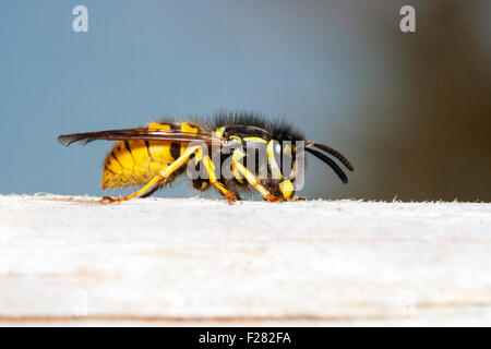 Insect. Marco, close up of Common wasp, 'vespula vulgaris', sitting on bit of wood, direct side-view against blue - Stock Photo