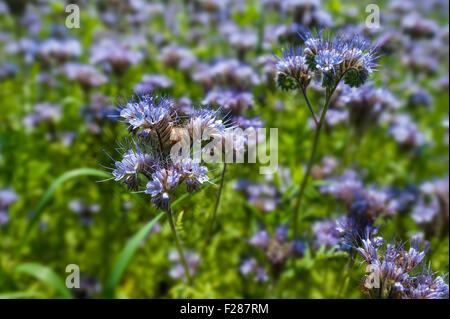 Bee pasture, lacy phacelia, blue tansy or purple tansy, (Phacelia tanacetifolia) in Aying, Bavaria, Germany - Stock Photo