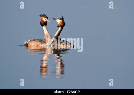 Courting Great Crested Grebes (Podiceps cristatus), Hesse, Germany - Stock Photo