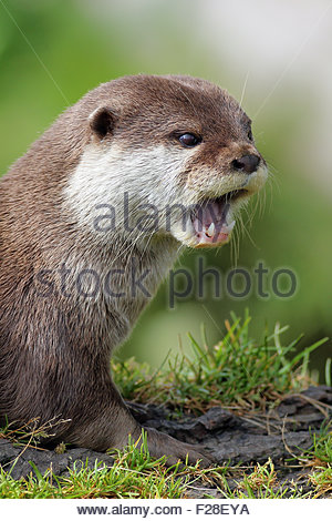 Asian short clawed otter with it's mouth open. - Stock Photo