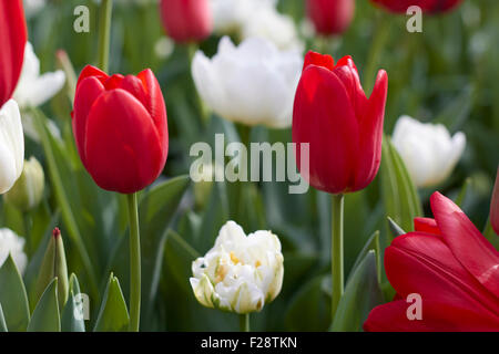 Beautiful red and white tulips in a tulip field. - Stock Photo