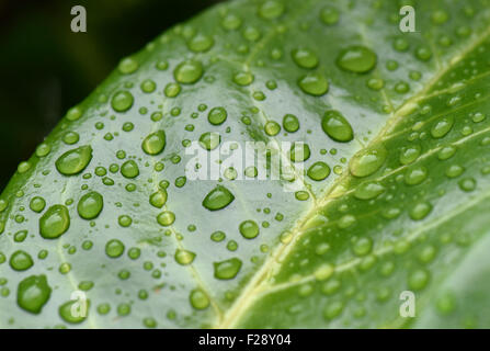 Rain water drops sitting on the shiny waxy leaf of cherry laurel, Prunus laurocerasus, Berkshire, August - Stock Photo