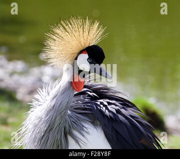 The portrait of the beautiful bird East African Crowned Crane - Stock Photo