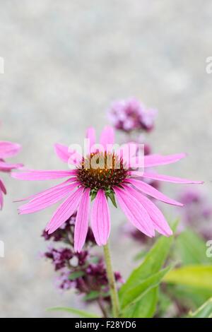 Echinacea purpurea 'Ruby Giant' . Coneflower - Stock Photo