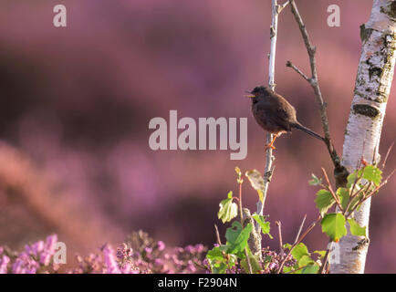 Male Dartford Warbler (Sylvia undata) perched on branch of silver birch tree - Stock Photo