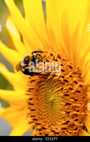 Bumble bee pollinating sunflower - Stock Photo