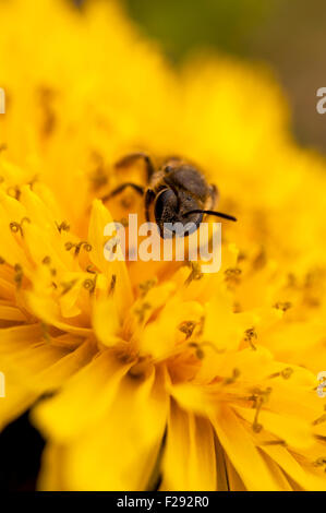 Bee on dandelion close--up - Stock Photo