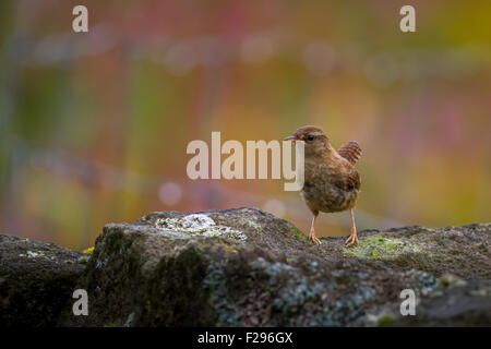 An alert wren (troglodytes troglodytes) standing on a Yorkshire stone wall with a beautiful flowering meadow behind, - Stock Photo