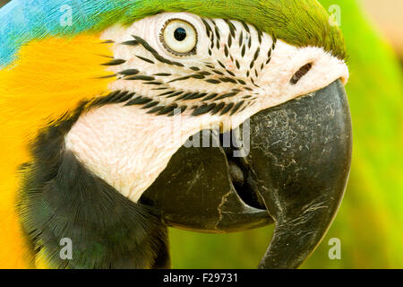 Side portrait of blue and yellow macaw. - Stock Photo