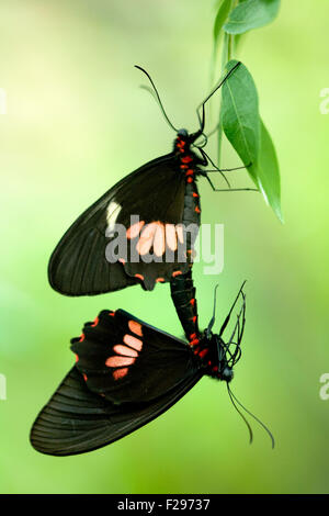 Close-up of butterflies mating - Stock Photo