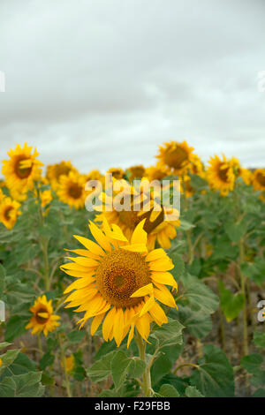 how to say sunflower in spanish