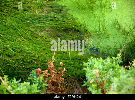 Muck floating on top of a pond - Stock Photo