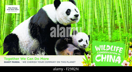 Washington, DC, USA. 15th Sep, 2015. This picture offered by Chinese Embassy shows Giant Pandas. A series of advertisements - Stock Photo