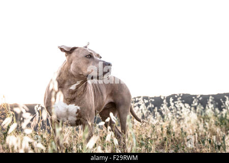 powerful Pitbull dog stands in tall dry grasses looking off in distance mountain ridge line background - Stock Photo