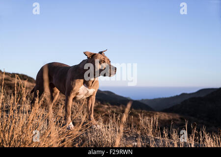 Pitbull dog walks a ridge line trail in mountains overlooking the ocean at sunset - Stock Photo