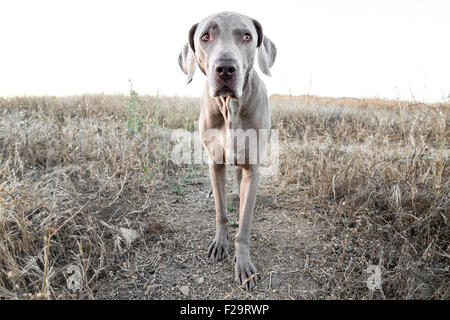 Weimaraner dog facing camera standing on path in dry barren grassy field observing - Stock Photo