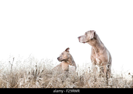 Weimaraner and Pitbull standing amid tall dry grass in field, looking left, negative space for copy - Stock Photo