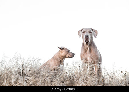 Weimaraner and Pitbull standing amid tall dry grass in field, one facing wrong way, negative space for copy - Stock Photo