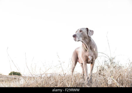 Adult Weimaraner dog standing facing camera, looking off to camera left in a dry barren field, negative space for - Stock Photo