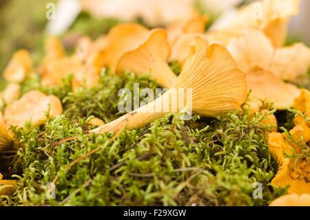 Chanterelle (Cantharellus cibarius) or girolle mushrooms lying on moss - Stock Photo