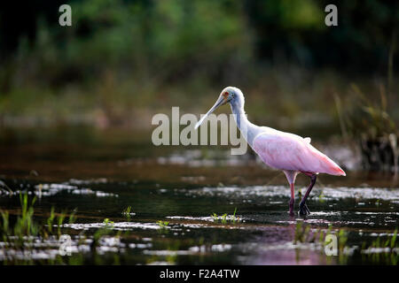 Roseate spoonbill (Ajaia ajaja), adult in the water, foraging, Pantanal, Mato Grosso, Brazil - Stock Photo